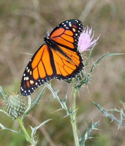 Pollinators230 monarch thistle